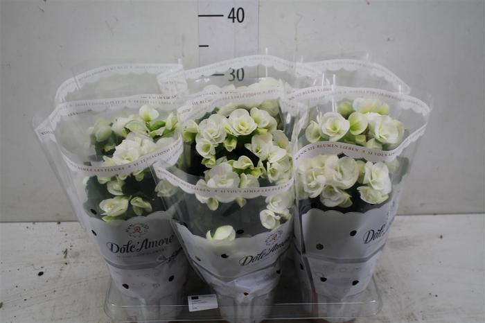 <h4>Begonia Du Vulcano Wit</h4>