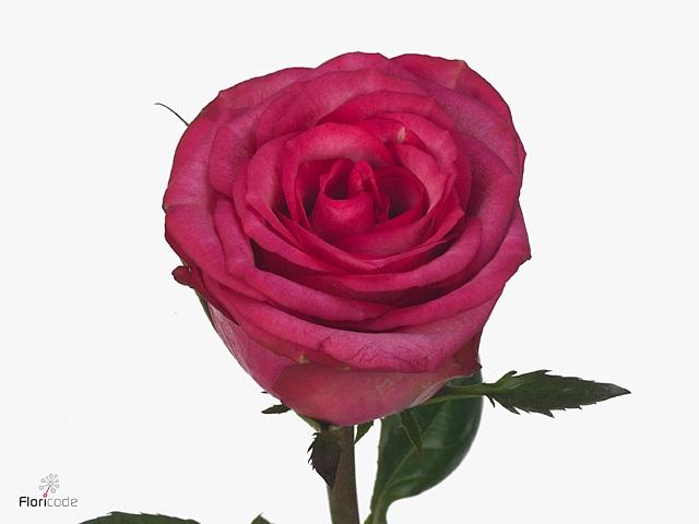 Rosa large flowered Isadora