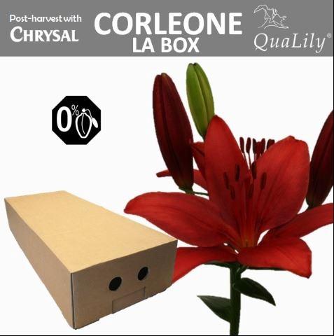 <h4>Li La Corleone</h4>