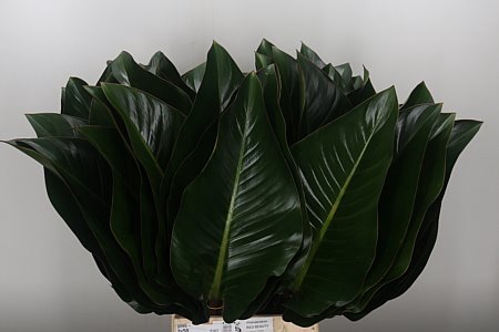 <h4>Philodendron Red Beauty</h4>