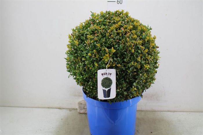 <h4>Buxus Semp Bolvormig 40-45cm Jeans Of Garden</h4>