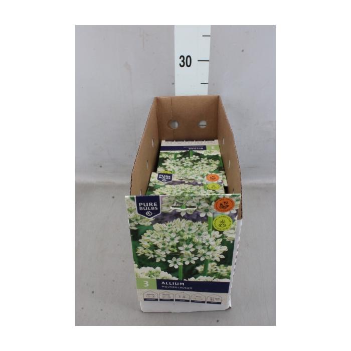 <h4>Allium   ...flowerbulbs</h4>