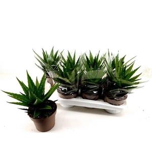 Aloe Arborescens 14Ø 30cm