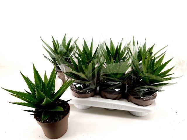 <h4>Aloe Arborescens 14Ø 30cm</h4>