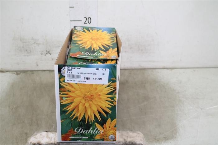 <h4>Bol Dahlia Gold Crown 10 Zakjes X1</h4>