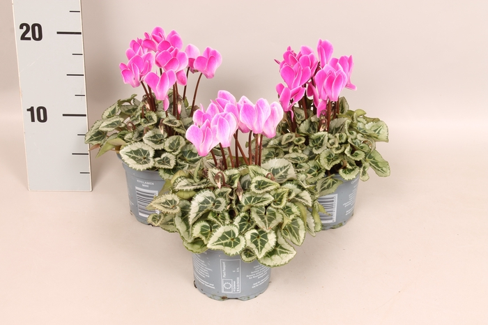 <h4>Cyclamen Picasso Rose Flame</h4>