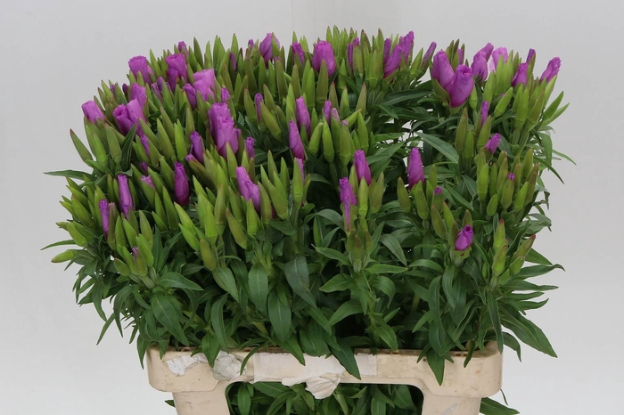 <h4>Clarkia Am Grace Lavendel</h4>