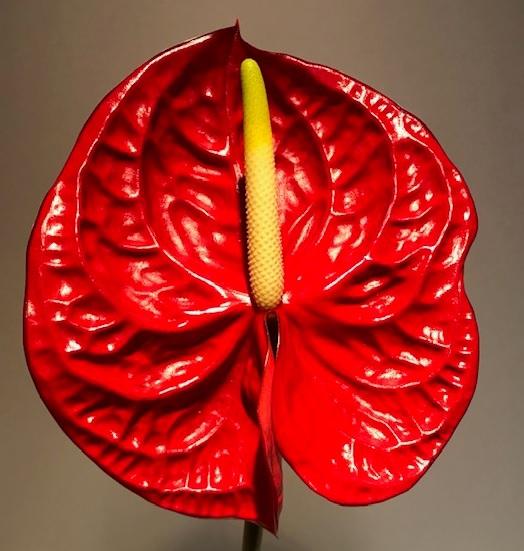 <h4>Anthurium Eterno Red Medium</h4>