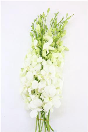<h4>Dendro Big White</h4>