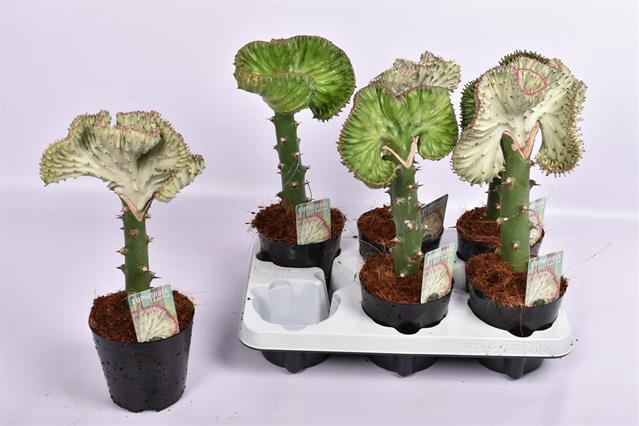 <h4>Euphorbia lactea 'Cristata'</h4>