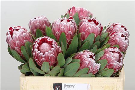 <h4>Protea Lady Di</h4>