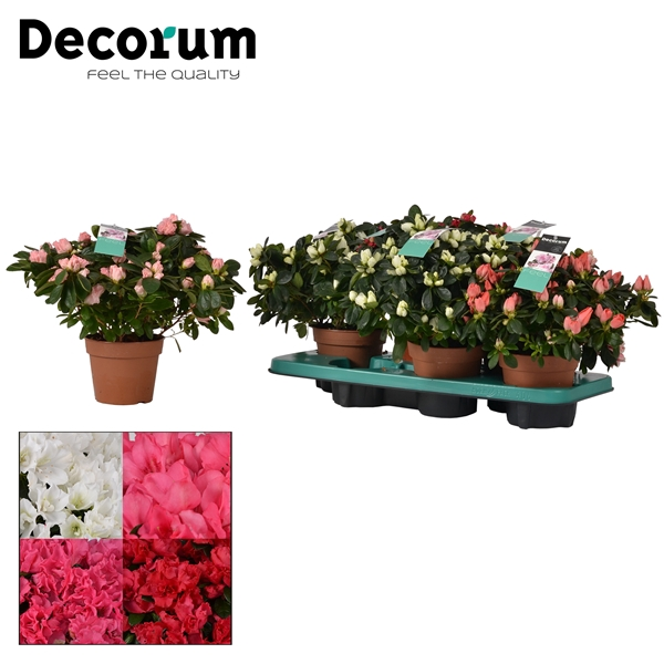 <h4>Azalea 14 cm MIX 4 srt Decorum</h4>