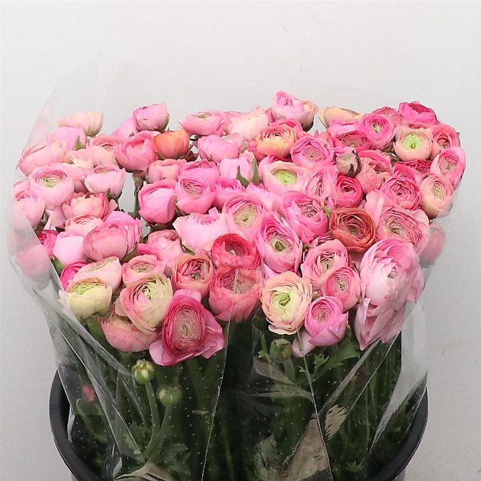 <h4>Ran El Pastel Pink Super</h4>