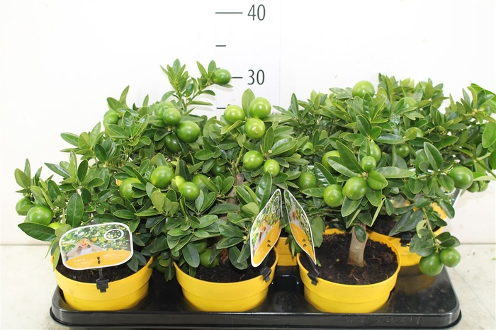 <h4>Citrus Limequat Mini Stam</h4>