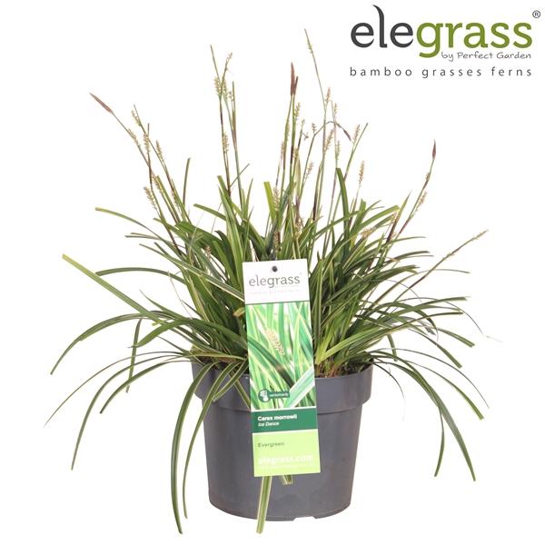 <h4>Carex morrowii ice dance (geknipt) - Elegrass</h4>