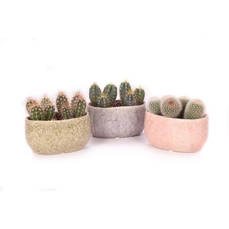 <h4>2x Cactus 6 Cm In La Quinta Ovaal</h4>