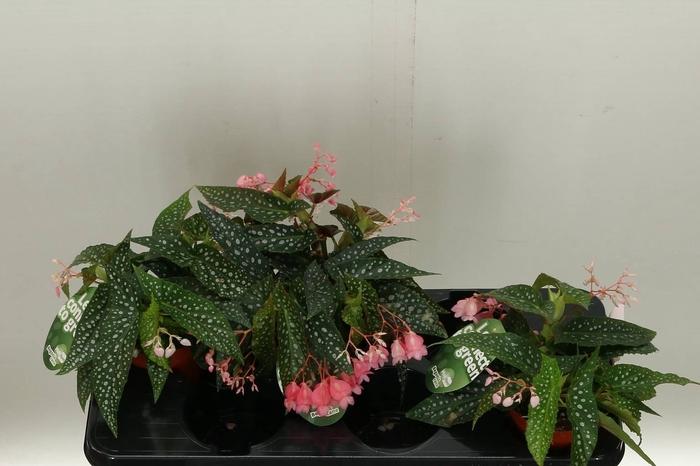 <h4>Begonia Cane Hotspot</h4>
