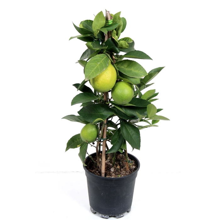 <h4>Citrus Lemon Pyramid</h4>