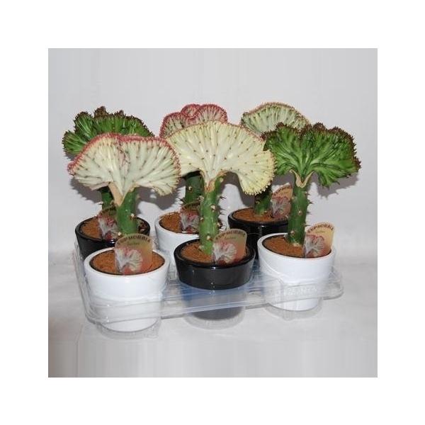 <h4>Euphorbia lactea 'Cristata' keramiek zwart-wit</h4>
