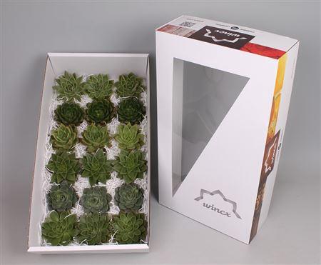 <h4>Echeveria Green Mix (wincx) Cutfl (6 Spcs)</h4>
