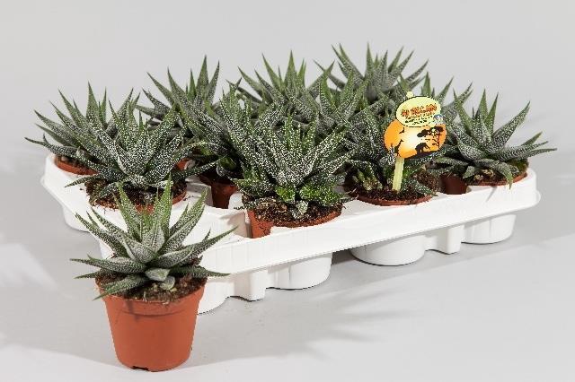 <h4>Haworthia Concolor 8Ø 12cm</h4>