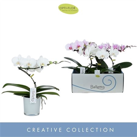 <h4>Phal Balletto Gemengd 1 Tak Glass Style</h4>