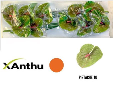 <h4>ANTH A PISTACHE X10</h4>