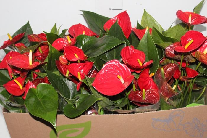 <h4>ANTHURIUM RED SUCCESS P15</h4>