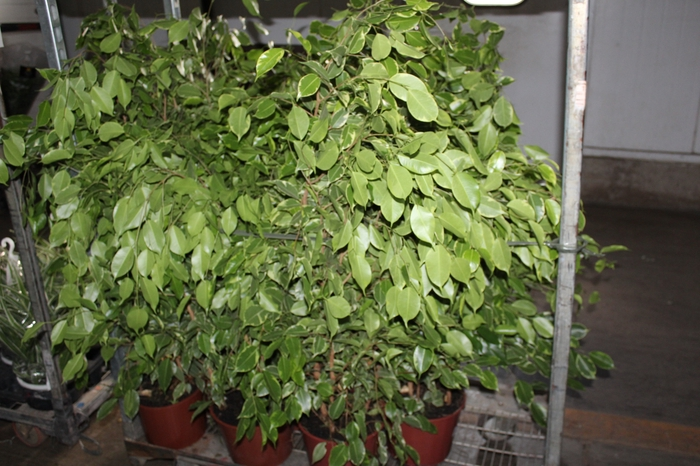<h4>FICUS GOLDEN KING P24</h4>