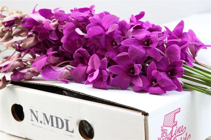 <h4>Dendrobium Paars ( Mdl )</h4>
