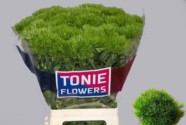 <h4>Dianthus Green Wicky</h4>