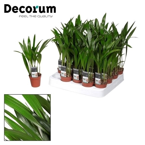 <h4>Tiny Pammy (Areca) (Decorum)</h4>