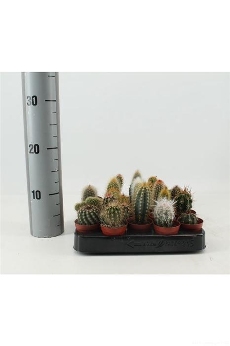 <h4>Cactus Mix A</h4>
