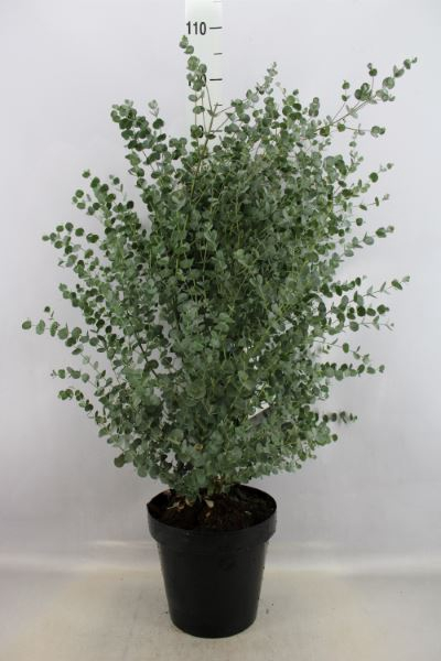 <h4>Eucalyptus</h4>