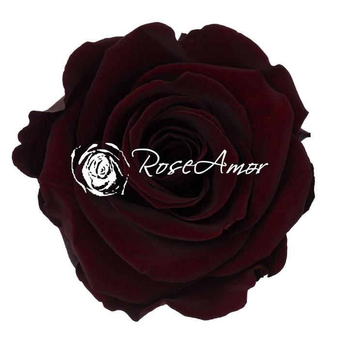 <h4>PRESERVED ROSA XL CHO 01</h4>