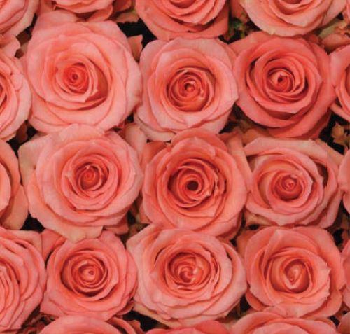 <h4>Rosa Pink Imagination</h4>