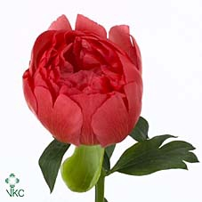 <h4>PAEONIA CORAL SUNSET</h4>