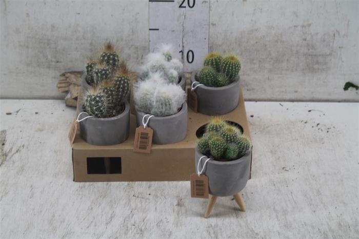 <h4>Cactus Gemengd Betonpot Wooden Legs</h4>