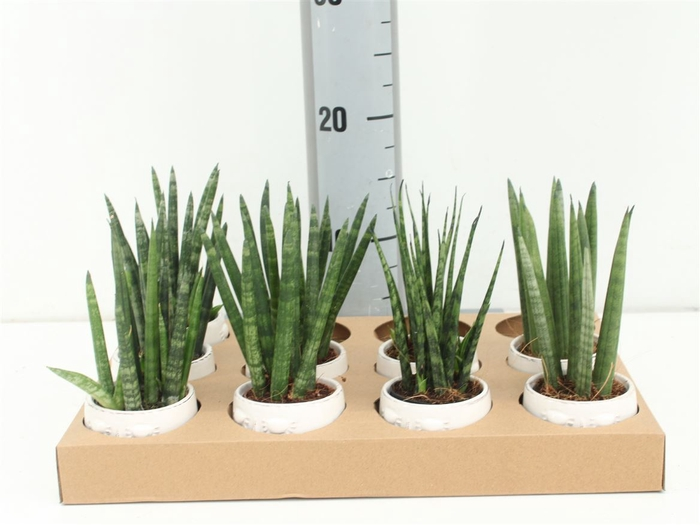 <h4>Sansevieria High Mix In Happy Face Po</h4>