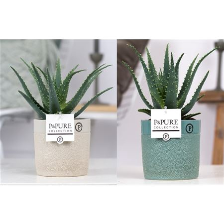 <h4>Aloe Arborescens In Pure Tess</h4>