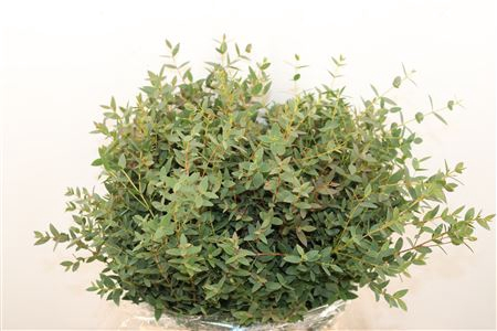 <h4>Euca Parvifolia Kort 150gr Pbs</h4>