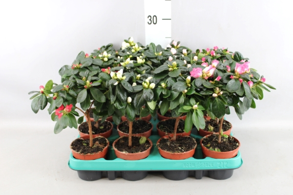 <h4>Rhododendron SI 'Hellmut V' ..mix</h4>