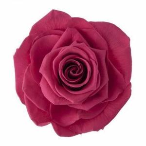 Rose Monalisa Pink Framboise