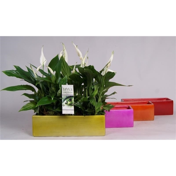 <h4>Spathiphyllum Cupido 4x 9cm in grote accubak 4 kleuren</h4>