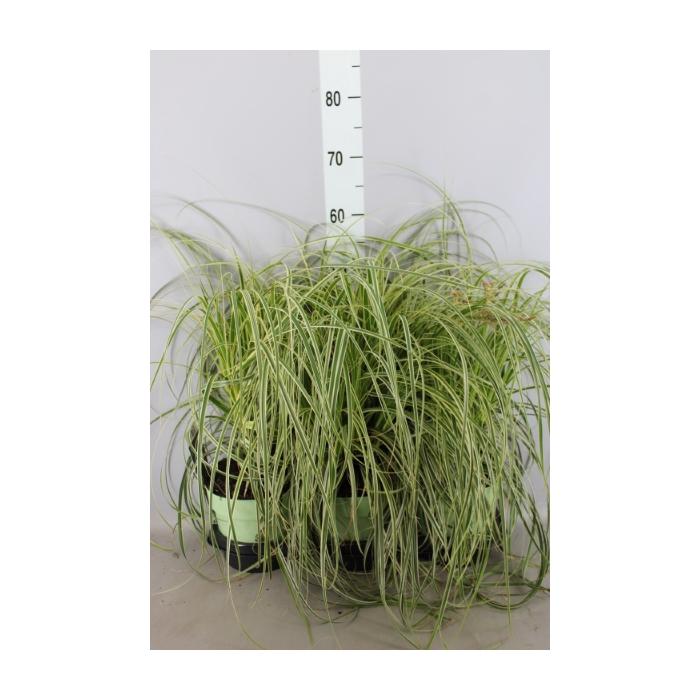 <h4>Carex morrowii</h4>