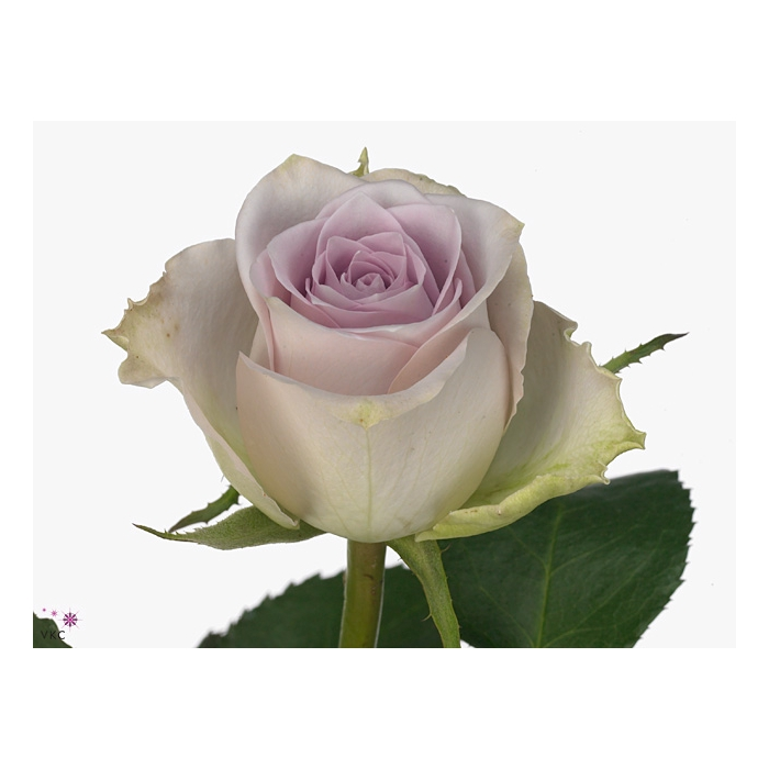 <h4>Rosa Gr. Morning Dew!</h4>