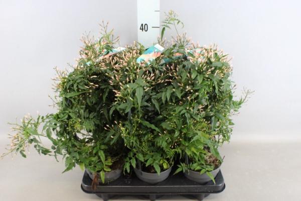 <h4>Jasminum polyanthum</h4>