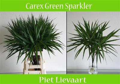 <h4>CAREX PH GR SPARKLER</h4>