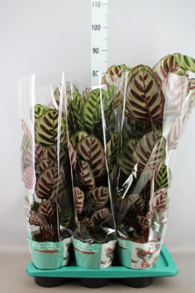 <h4>Calathea makoyana</h4>
