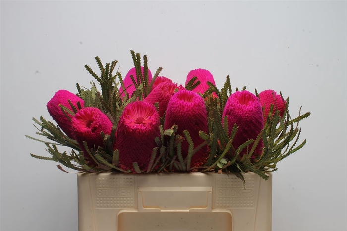 <h4>Banksia Hookeriana Cerise</h4>
